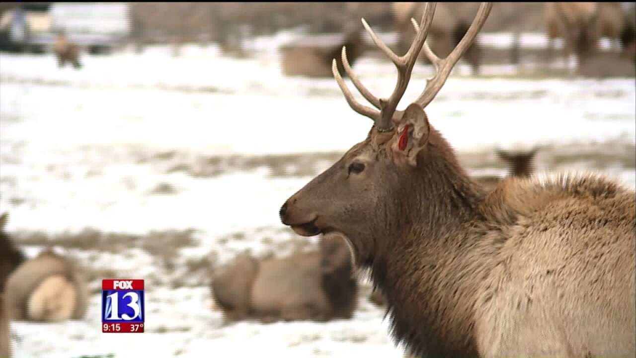 Uniquely Utah: Elk aplenty at HardwareRanch