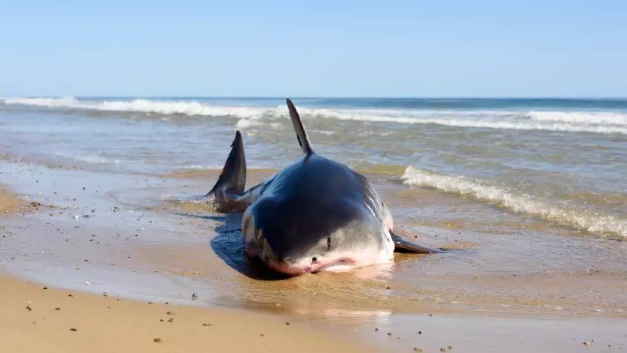 About That Viral Post Of A 20 Foot Shark On Kitty Hawk Beach