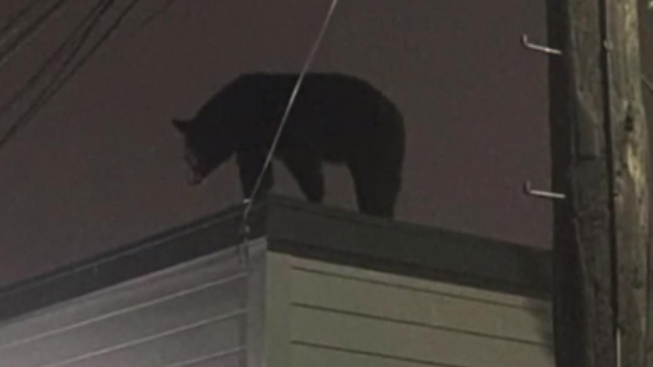 New Jersey Bear