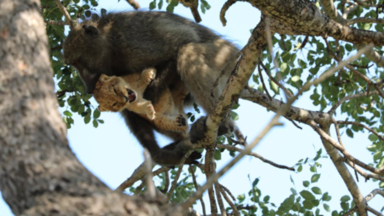 """In this photo taken Saturday, Feb. 1, 2020, a male baboon carries a lion cub in a tree while the rest of the baboon troop settled down, the male """"moved from branch to branch, grooming and carrying the cub for a long period of time,"""" said Schultz, in the Kruger National Park, South Africa. The baboon took the little cub into the tree and preened it as if it were his own, said safari ranger Kurt Schultz who said in 20 years he had never seen such behaviour. The fate of the lion cub is unknown. (Photo Kurt Schultz via AP)"""
