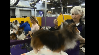 Video extra: Grooming for the Westminster Dog Show
