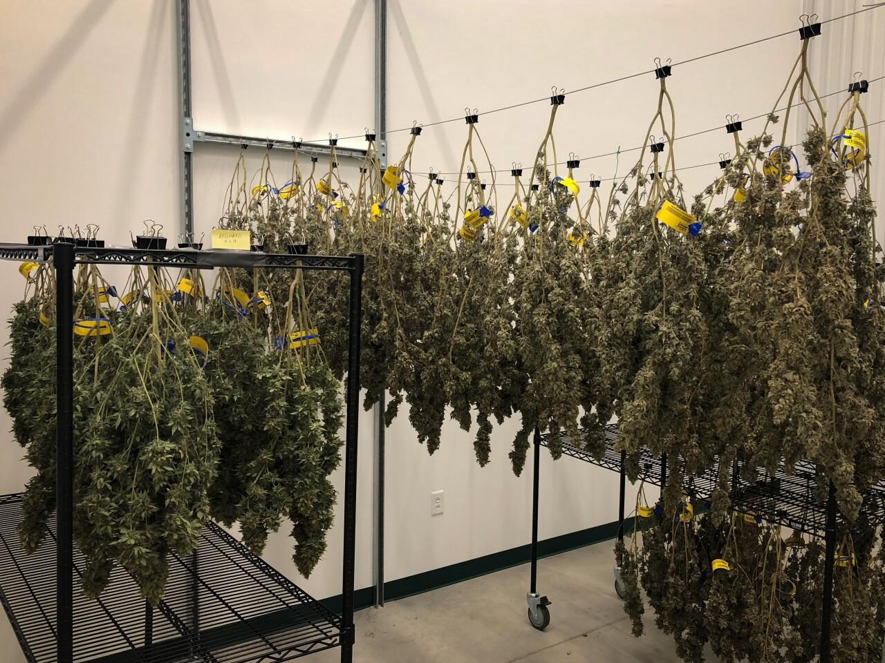 Medical Marijuana14.jpg
