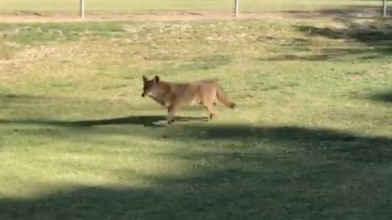 Pit bull attacked by coyote at Chula Vista baseball fields - again