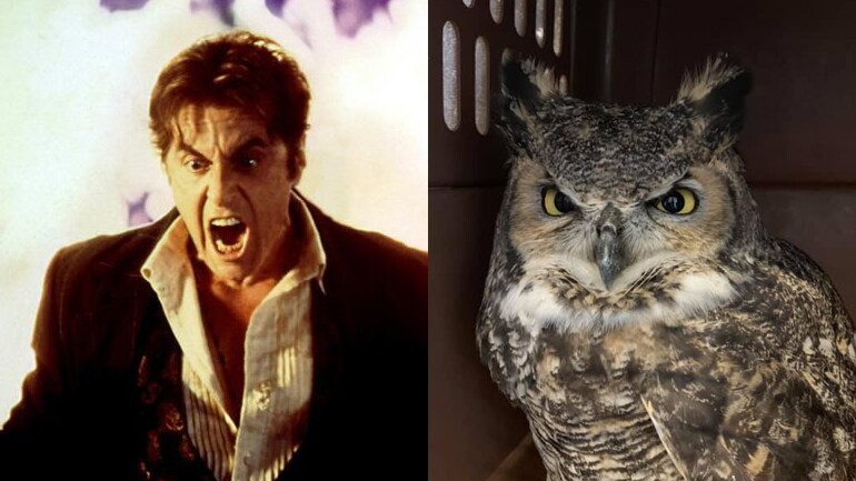 Photos: Great Horned 'Owl Pacino' taken to rehab inOgden