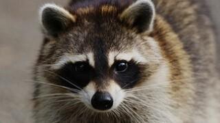 Poquoson raccoon tests positive for rabiesvirus