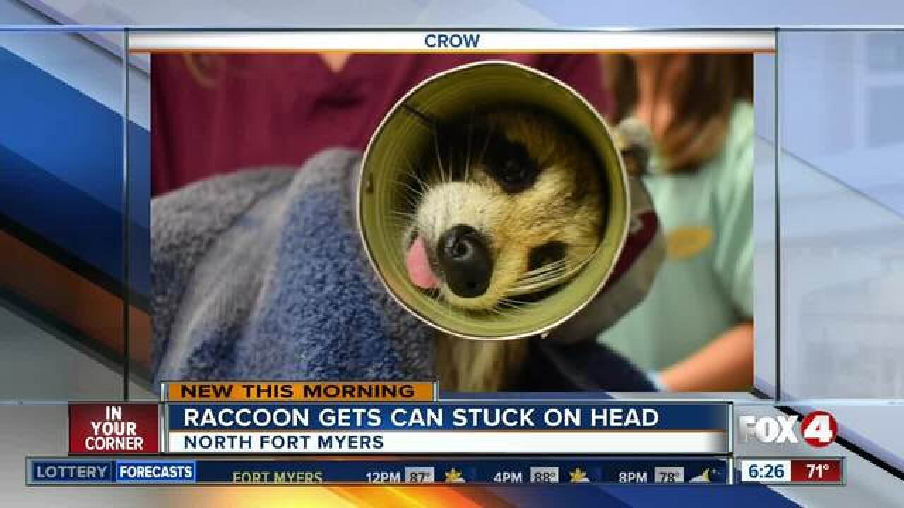 Stuck in a soup can, raccoon rescued