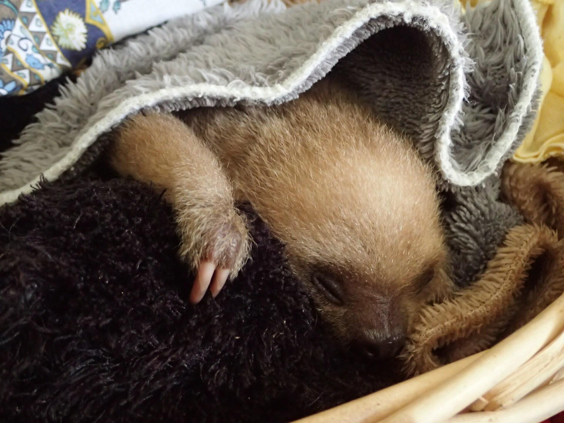Baby Sloths (6).JPG