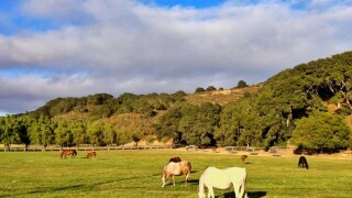 Horses in Central Coast field