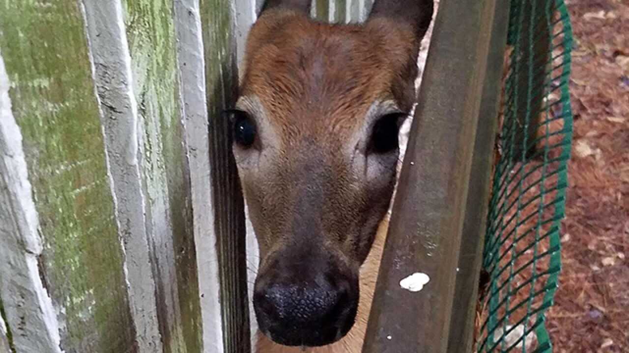 Ohio police rescue deer stuck in fence