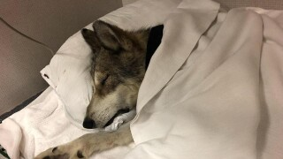Sky Wolf dog recovering