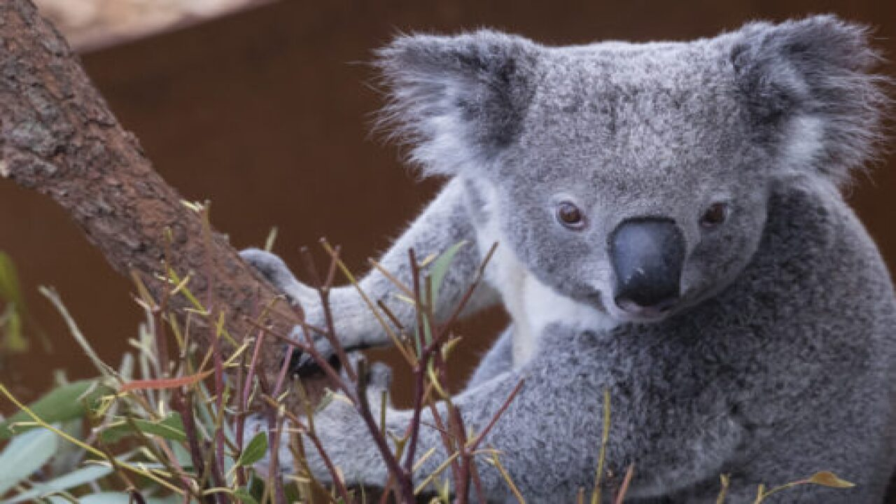 The Koala Rescued From Australian Wildfire Has Died