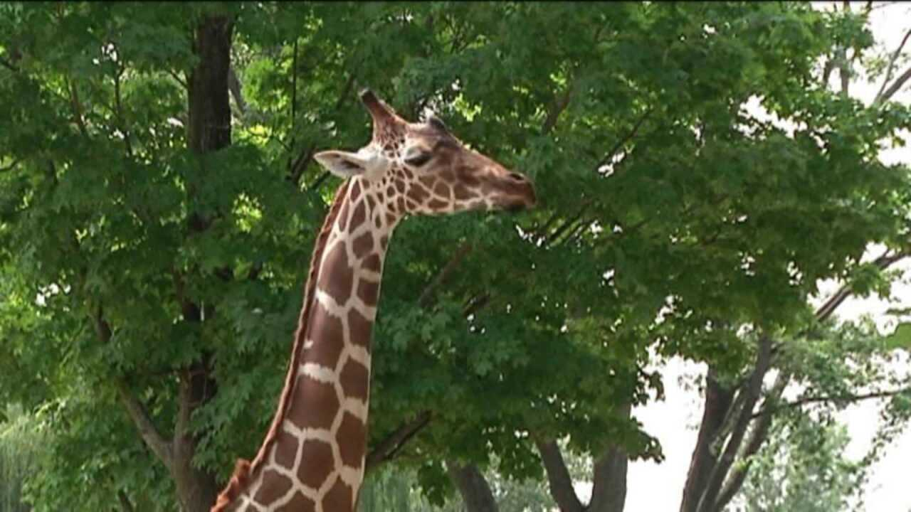Woman gets kissed, then kicked by giraffe at zoo