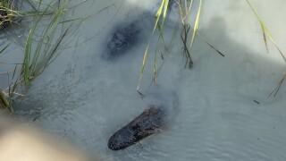 gators 2.jpg