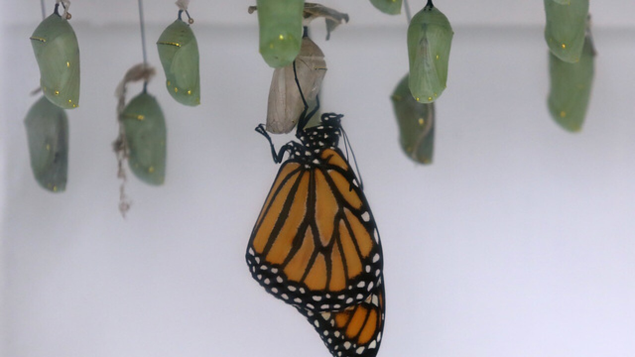 Monarch butterfly-killing invasive plant found in northern Michigan