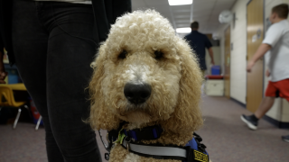 Meet Sandee. He's one of Grand Ledge Public Schools facility support dogs.