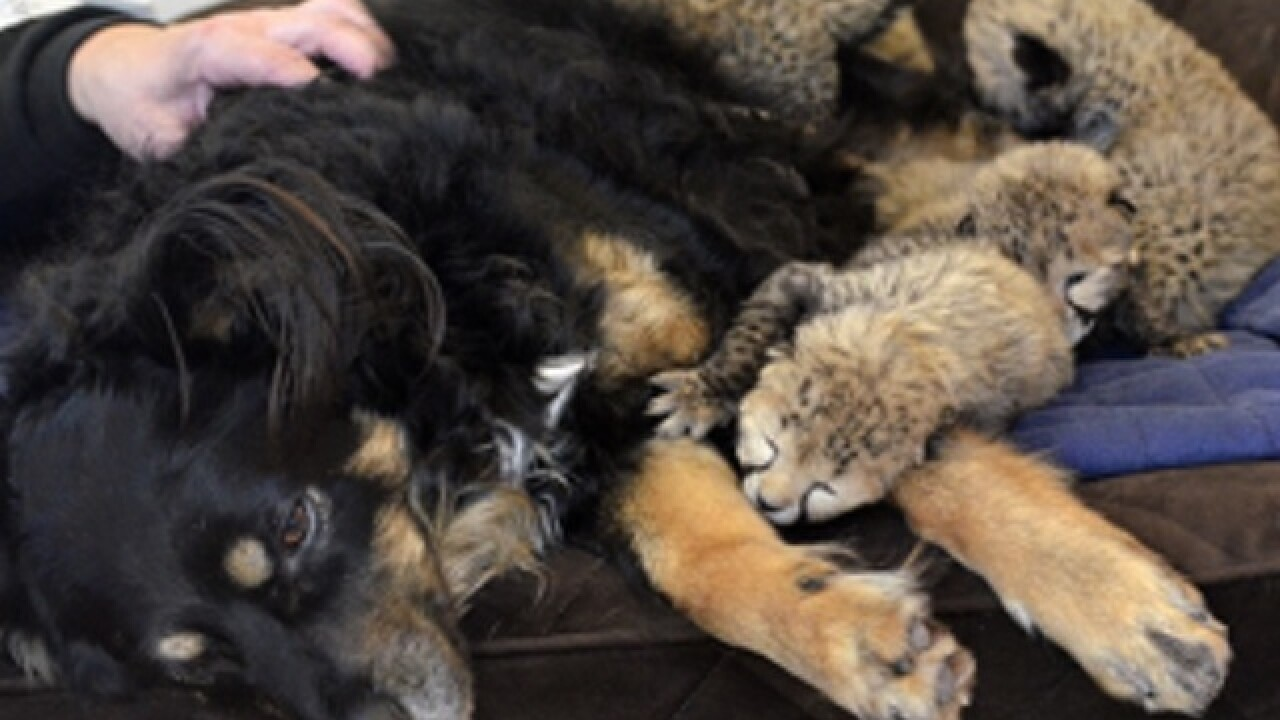 'Nanny dog' surrogates premie cheetah cubs