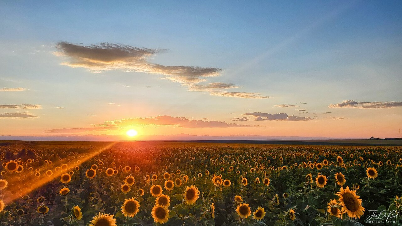 DIA Sunflower Fields