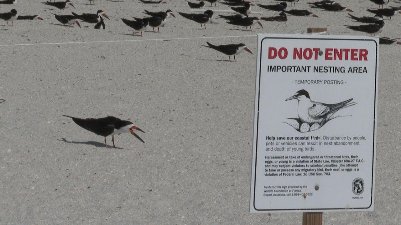 Black-Skimmer-shorebirds-WFTS-LANE-1.jpg