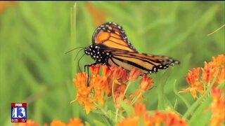 Uniquely Utah: Helping Monarch Butterflies