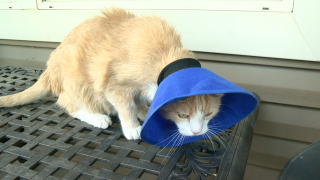 henderson cat tied and tortured.png