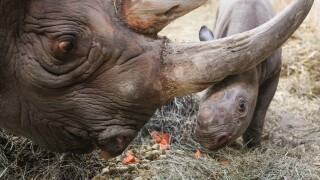 potter park zoo black rhino calf 5.JPG
