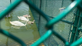 lakeland-swans.png
