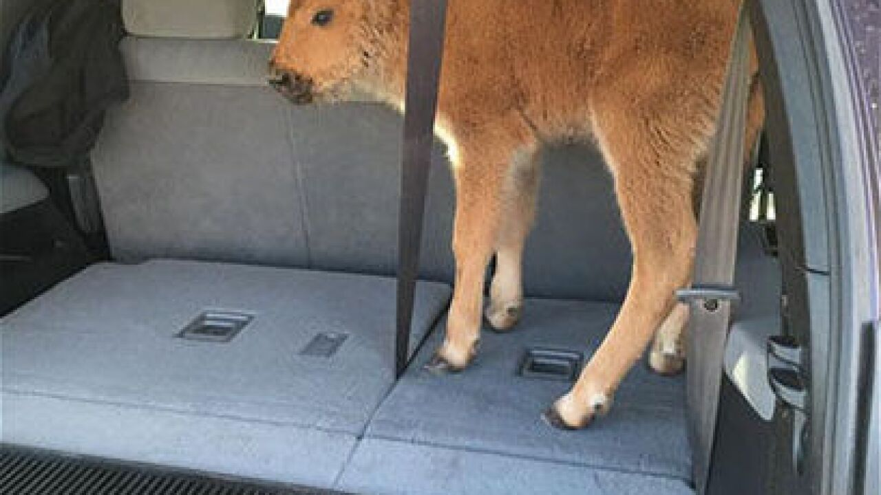 Canadian man cited for moving bison calf
