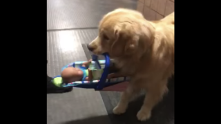 This Police Department's Therapy Dog Kept Stealing Toys From The Toy Donation Drive Stash