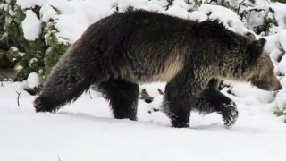 Bears in winter? Yellowstone biologist says to carry spray year-round