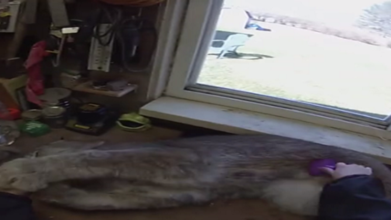 WATCH: Canada lynx absolutely loves being brushed