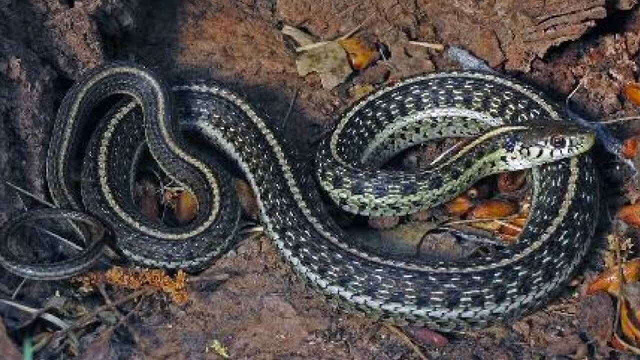 Snakes long gone from Colorado River reappear