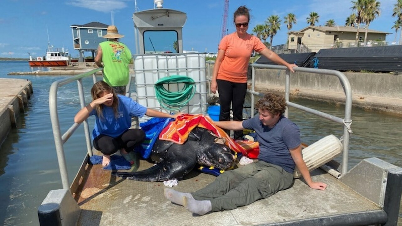 Turtle euthanized after suffering large propeller wounds