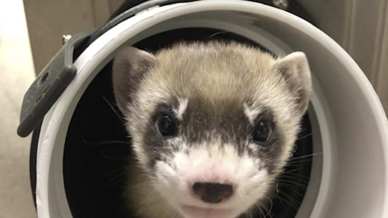 First cloned ferret
