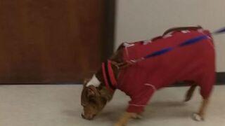 VIDEO: Sweet pitbull in pajamas is Muncie Animal Care & Services' longest-tenured resident