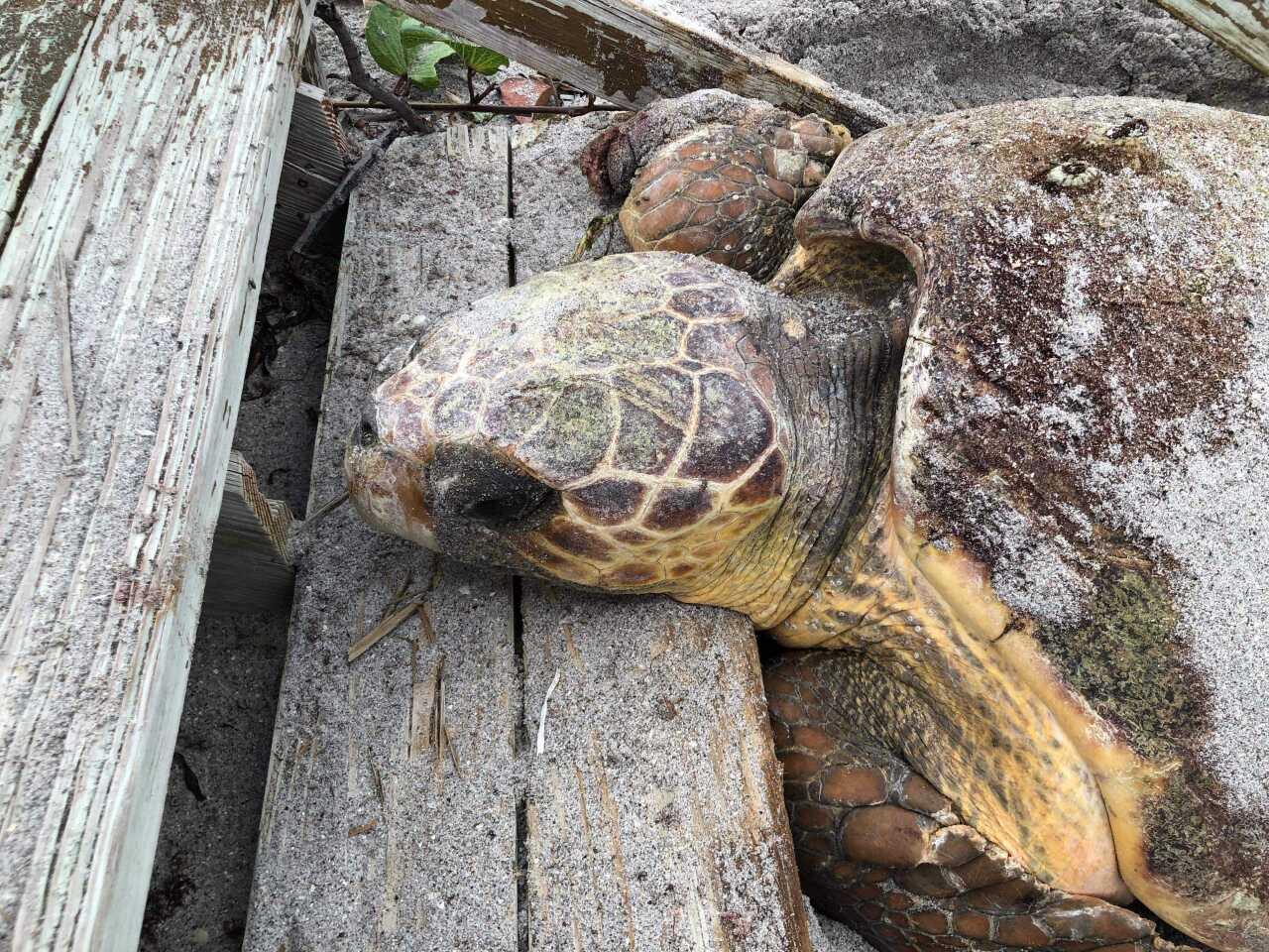 loggerhead turtle (2).jpg