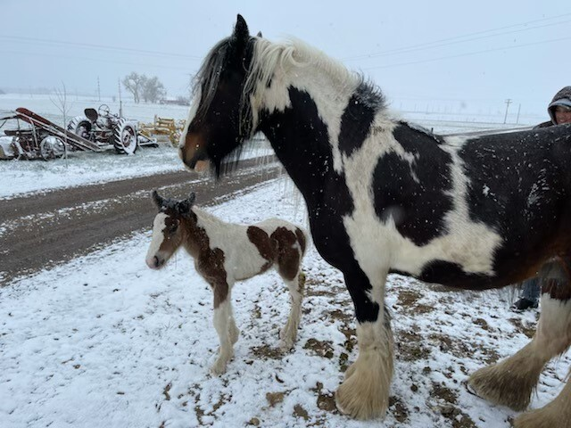 Stolen colt from property north of Fort Lupton 2