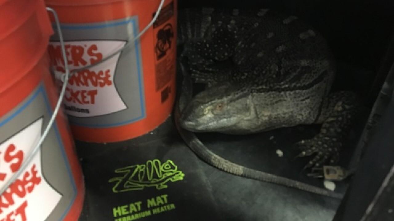 'Bubbles' the monitor lizard found