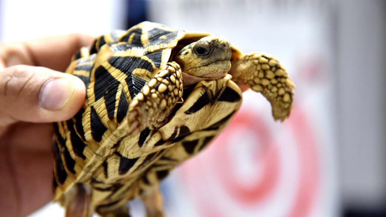 More than 1,500 live turtles found duct-taped and stuffed in suitcases in the Philippines