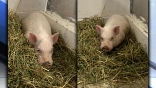 Lost Painesville Pig.jpg