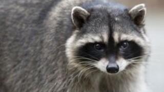 Rabid raccoon found in East Aurora
