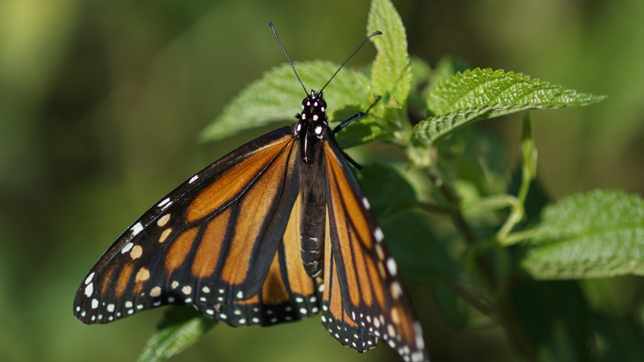 California's monarch butterflies critically low for 2nd year