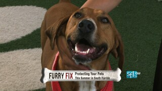 Protecting Your Pets from Mosquitoes this Summer in SouthFlorida