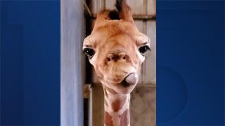 Noel Wildlife World Zoo giraffe.jpg