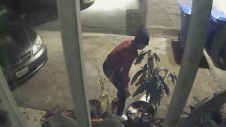 Caught on video: thief targets tropical fruit trees