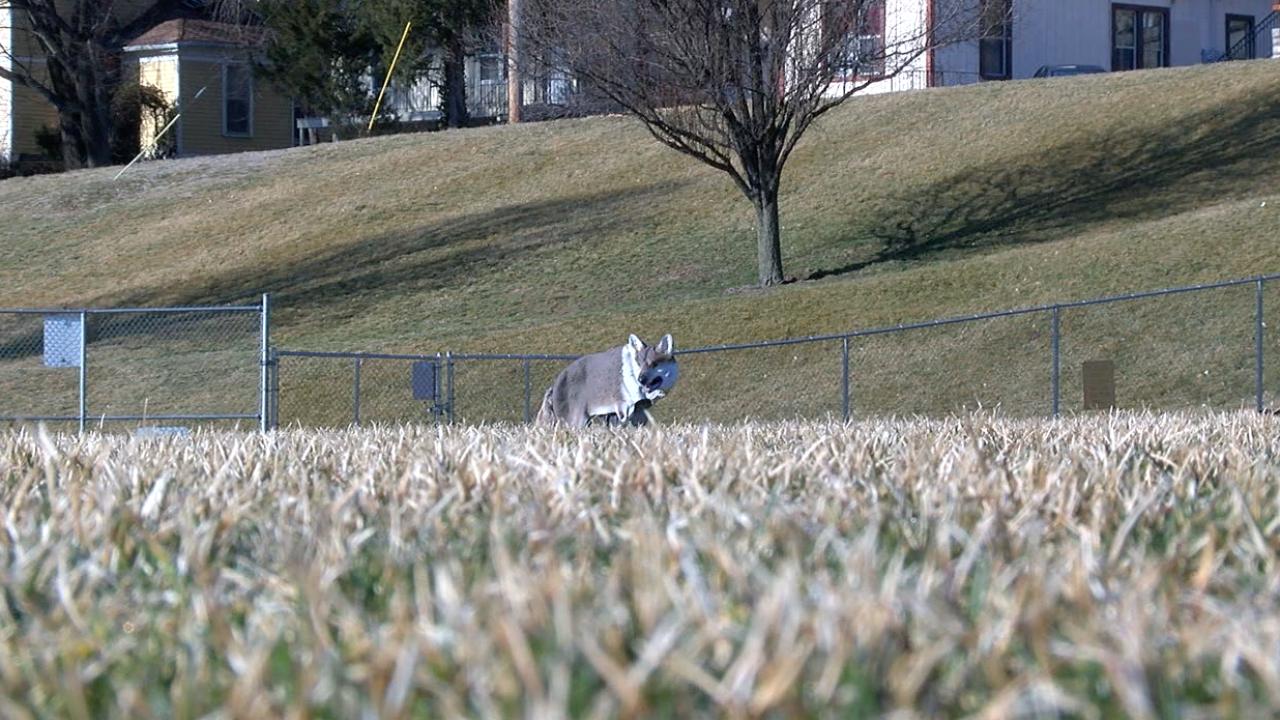 park university coyote