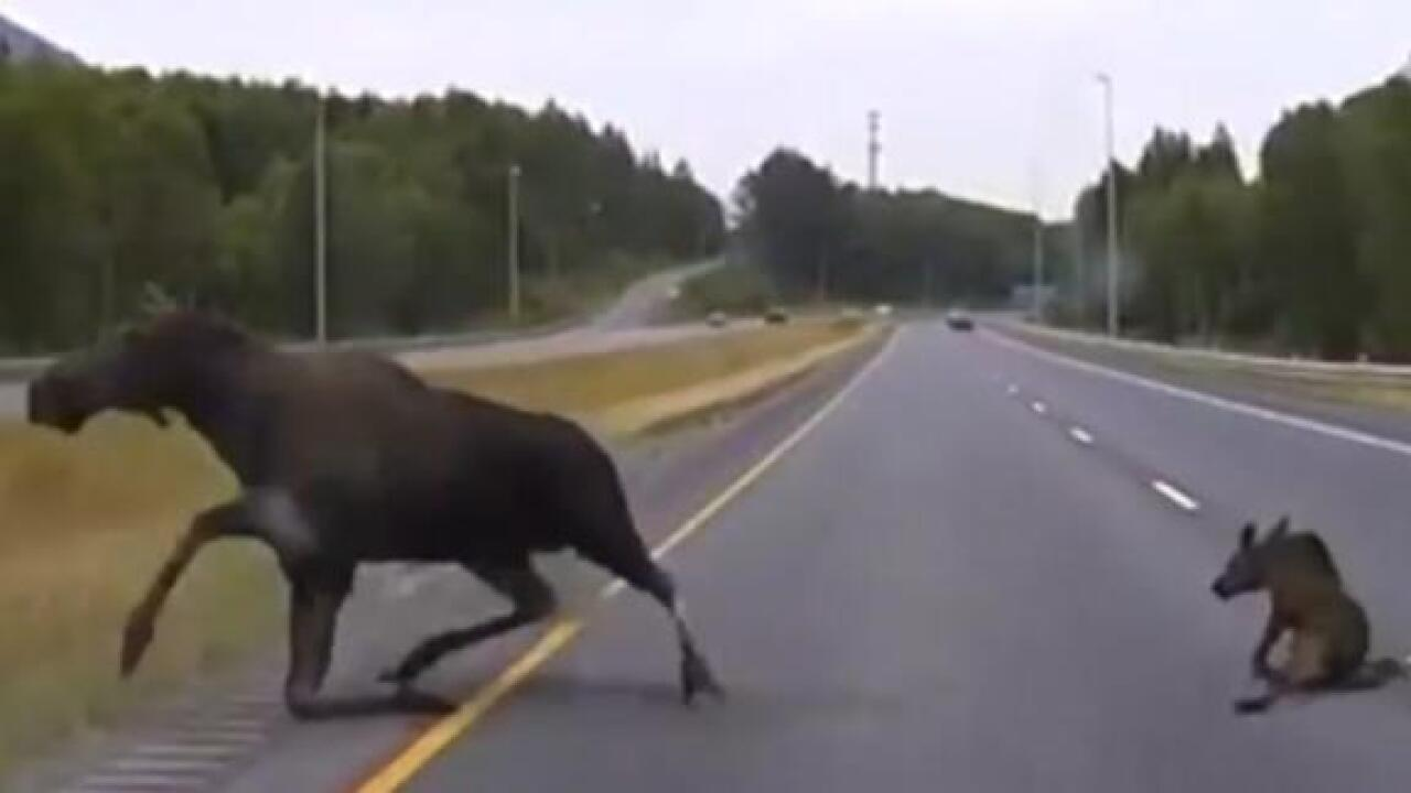 Dashcam shows Alaska police car narrowly missing moose and calf on highway