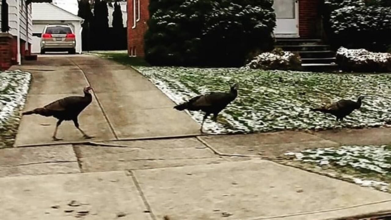 Turkeys spotted having a blast in Parma