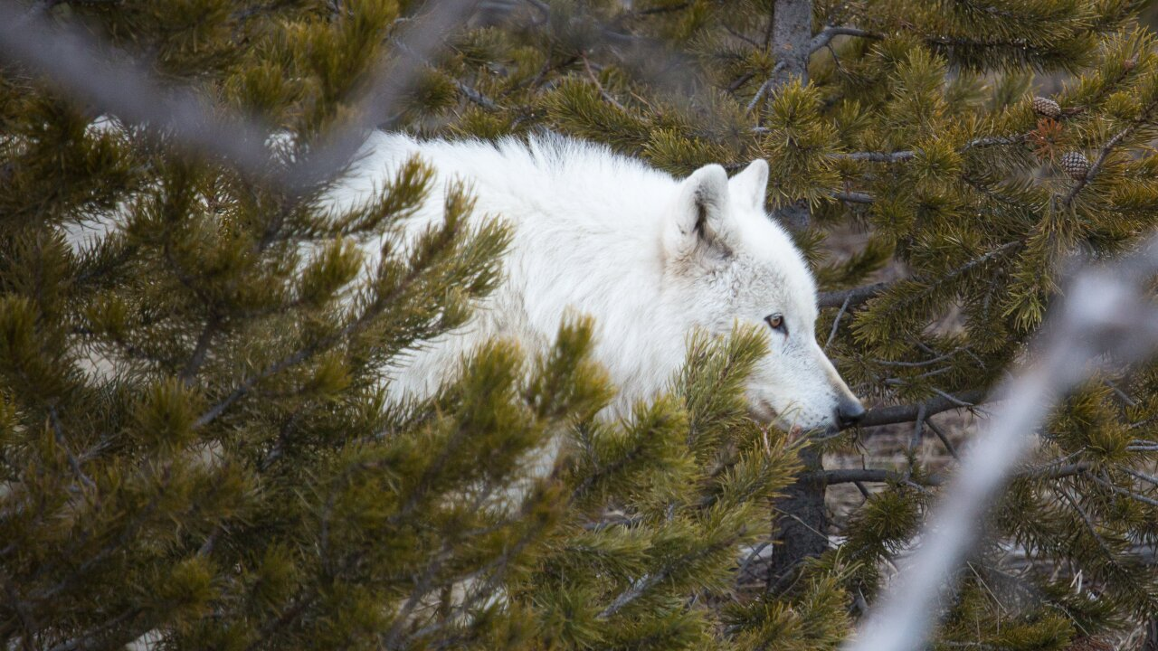 $5,000 offered for info on gunman after rare white wolf dies