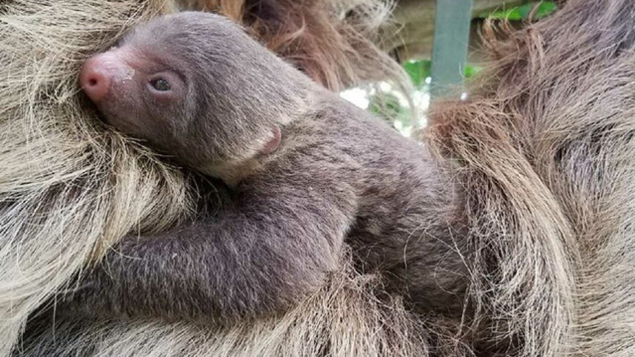 Congratulations to parents of a super cute baby sloth at the Topeka Zoo