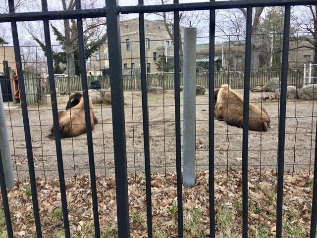 zoo bisons.jpg